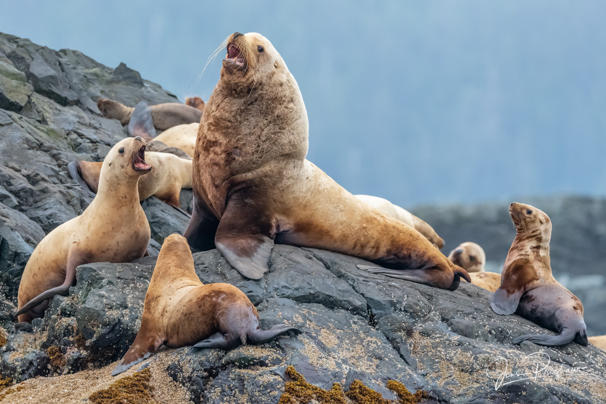 Steller Sea Lions ( Eumetopias jubatus ) on a haulout. What I really like about this image is the young Steller Sea Lion on the...