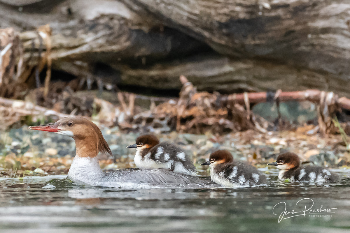 Common Merganser, Female, Mergus merganser, Young, Chicks, Gwaii Haanas National Park Reserve, Haida Gwaii, British Columbia, Hecate Strait, Pacific Ocean, Canada, Summer, photo