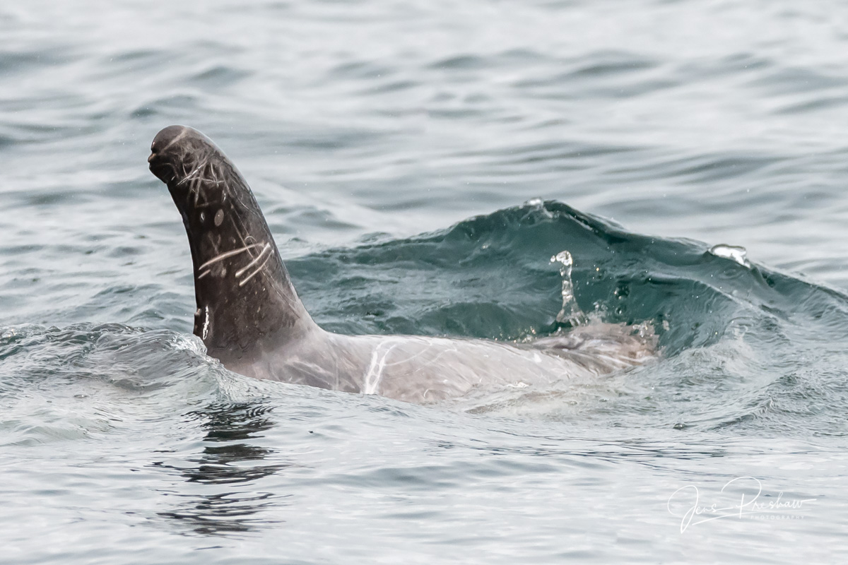 This was the first time I had ever seen a Risso's Dolphin ( Grampus griseus ). They usually live in the deeper water of&...