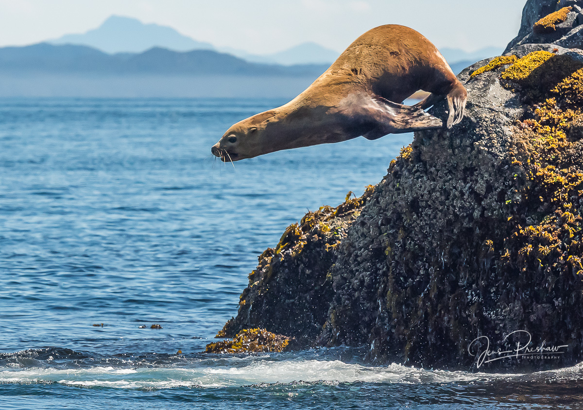 A Steller Sea Lion ( Eumetopias jubatus ) dives into the oceanfrom its rookery.