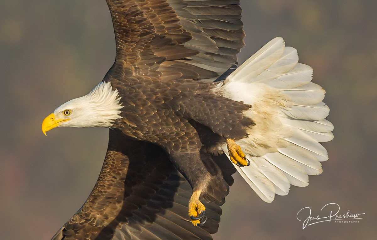 Bald Eagle, Haliaeetus leucocephalus, Talons, Feathers, Fall, Nicomen Slough, British Columbia, Canada