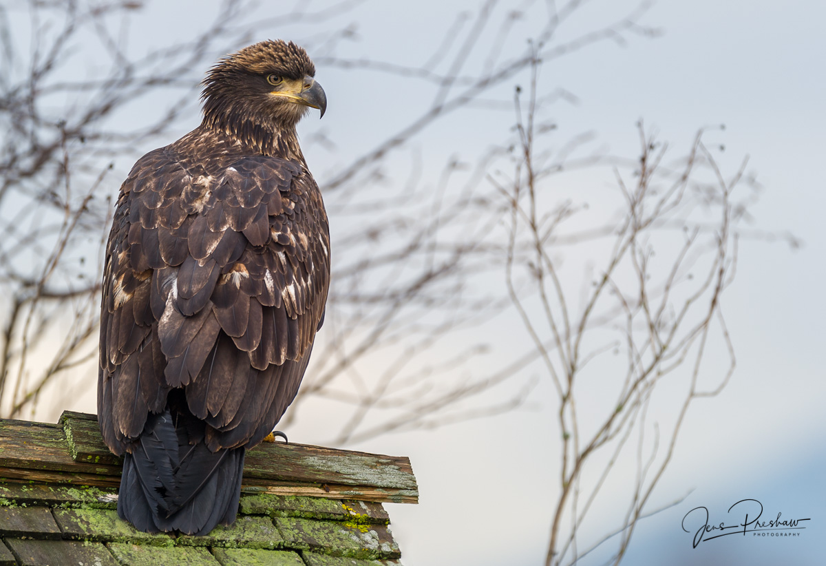 A juvenile Bald Eagle ( Haliaeetus leucocephalus ) sits on the roof of a small shed.