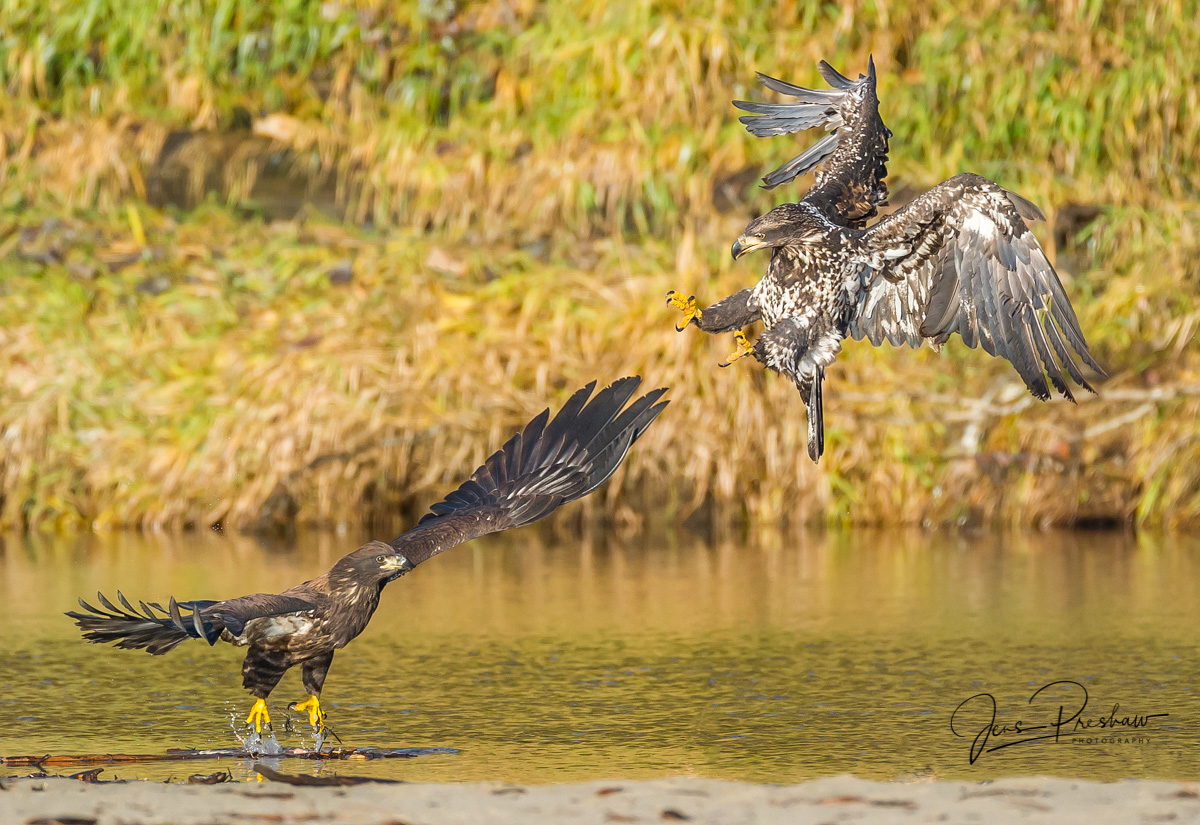 Juvenile Bald Eagle, Haliaeetus leucocephalus, Nicomen Slough, British Columbia, Canada, Fall, photo