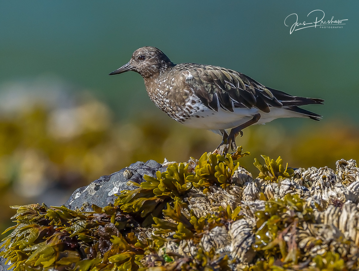 A Black Turnstone ( Arenaria melanocephala ) foraging amongst the Rockweed in the intertidal zone. The Black Turnstone shows...