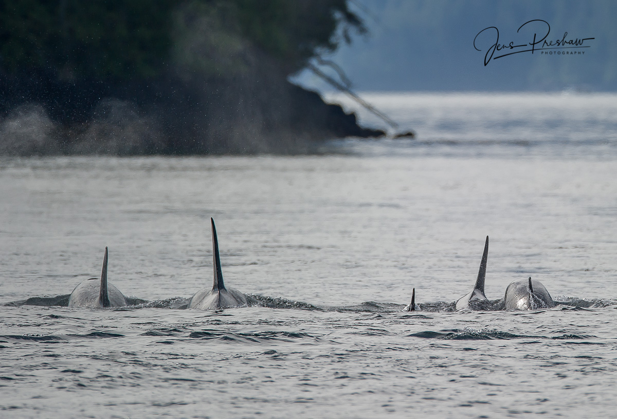 Five resident Killer whales ( Orcinus orca ) swimming up the strait.