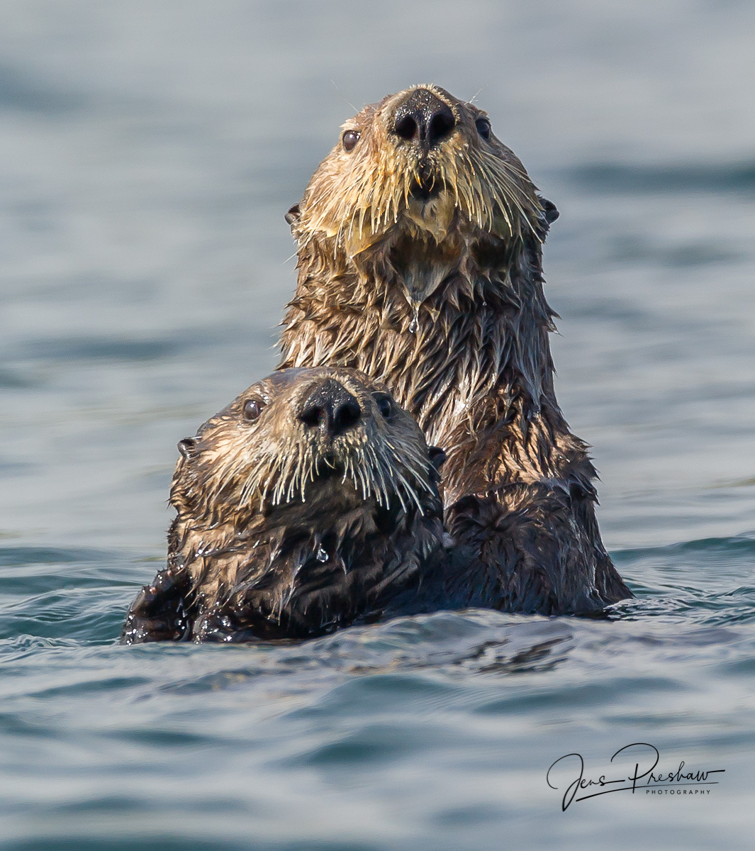 Sea Otters, Enhydra lutris, Whiskers, Bull Kelp, Vancouver Island, British Columbia, Pacific Ocean, West Coast, Canada, Summer, photo